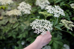 Hand picking sambucus