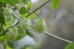 Hops herbal medicine